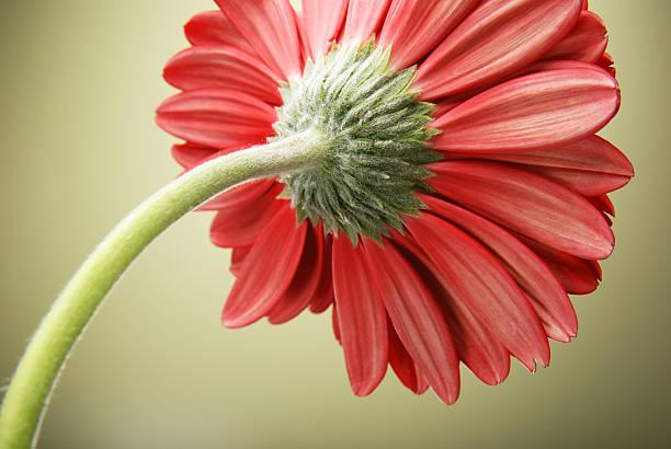 underside of red gerber daisy flower - foderblad bildbanksfoton och bilder