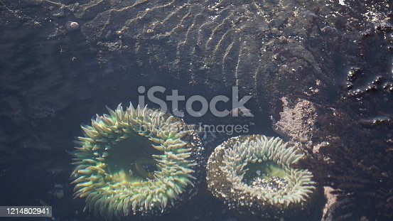 One of the best surprises on the Oregon coastline is finding Anemones.  Cnidaria, class Anthozoa.  Green.