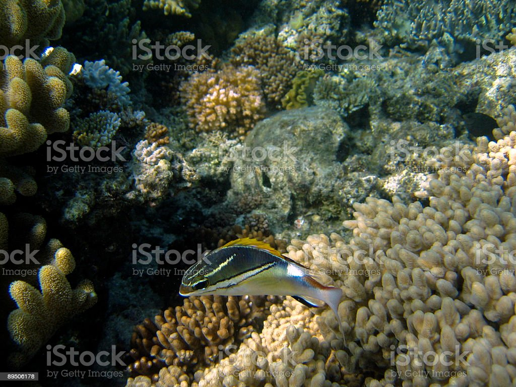 Underwater at Australia's Great Barrier Reef 免版稅 stock photo