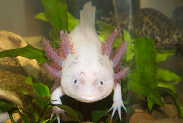 Underwater Axolotl portrait close up in an aquarium. Mexican walking fish. Ambystoma mexicanum. Underwater Axolotl portrait close up in an aquarium. Mexican walking fish. Ambystoma mexicanum. animal embryo stock pictures, royalty-free photos & images