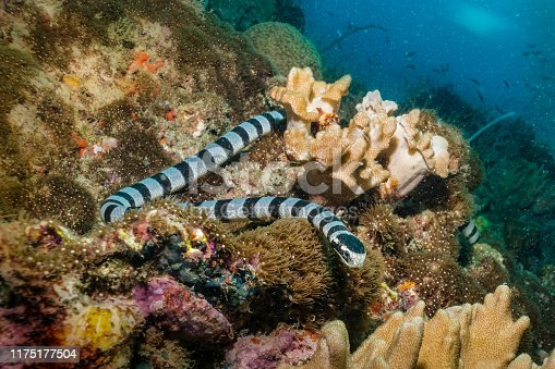 One Banded Sea Krait (Laticauda colubrina) close-up underwater.  Also known as yellow-lipped sea krait and colubrine sea krait. This highly venomous sea snake feeds on small fish and eels.  It must breathe air and so comes to the surface frequently, before swimming back onto the reef. The location is Phi Phi islands, Andaman Sea, Krabi, Thailand.