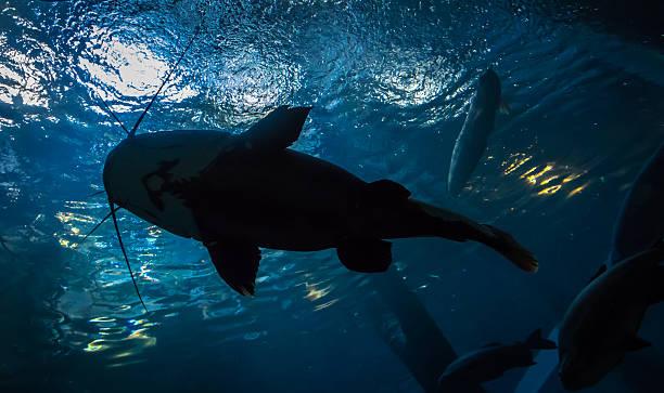Underwater bottomtop silhouette of a big catfish picture id578824134?b=1&k=6&m=578824134&s=612x612&w=0&h= ndrq99iuchpyntcx gqrkxlaosdlc8 tvvj9es1qr4=