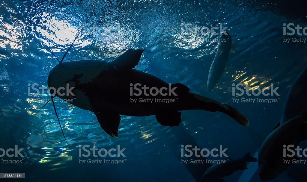Underwater bottom-top silhouette of a big catfish stock photo