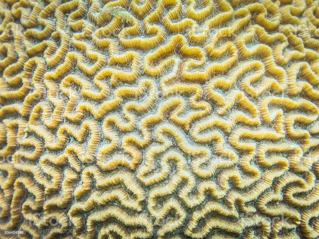 Underwater Close Up of Brain Coral Thailand stock photo