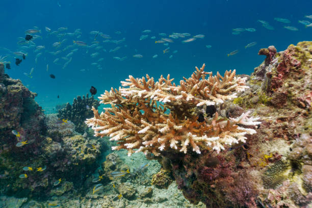 Underwater coral bleaching of critically endangered species Staghorn (Acropora cervicornis) stock photo