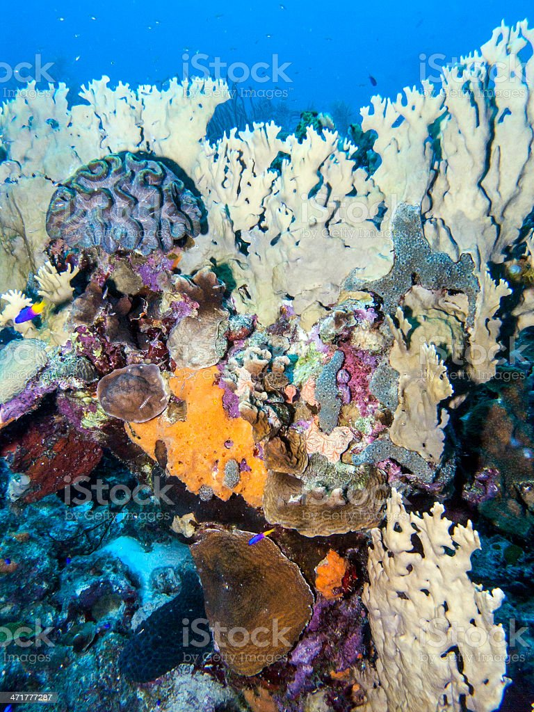 Underwater coral reef fire corals royalty-free stock photo
