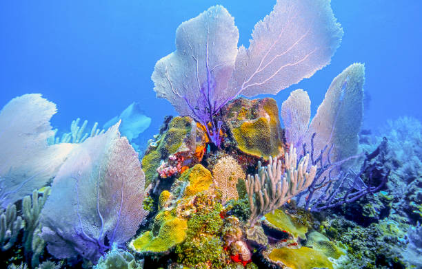 underwater coral reef, Roatan Coral reef off the coast of the island of Roatan roatan stock pictures, royalty-free photos & images