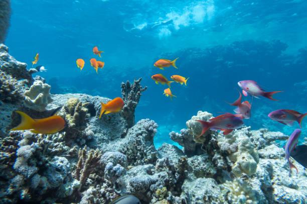 unterwasserkorallenriff mit gruppe tropischer fische - coral and mauve stock-fotos und bilder