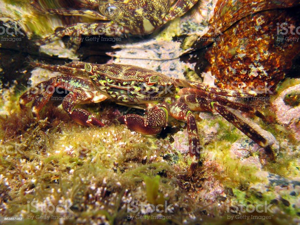 Crabe sous-marine - Photo