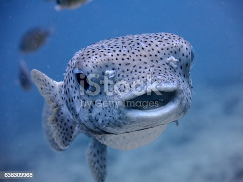 An underwater image of a Porcupine fish (Diodon hystox) which is a type of puffer fish.  The name comes from their ability to puff their venomous spines up as a defence mechanism, if threatened.  They are also known as Balloonfish.  These fish are known to be very friendly with and curious of, scuba divers.  Image taken whilst scuba diving in the Andaman Sea, Thailand.