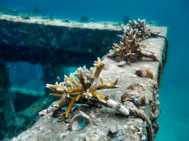 underwater eco tourism artificial reef, innovative coral restoration project, viking bay, phi phi islands, thailand - artificial reef stock pictures, royalty-free photos & images