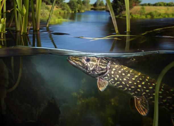 pesca submarina. - água doce - fotografias e filmes do acervo