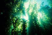 istock Underwater forest of green kelp 157585471