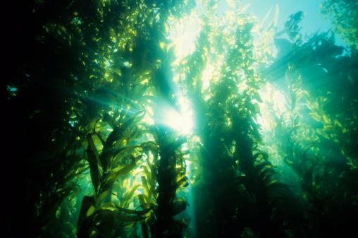 Underwater forest of green kelp