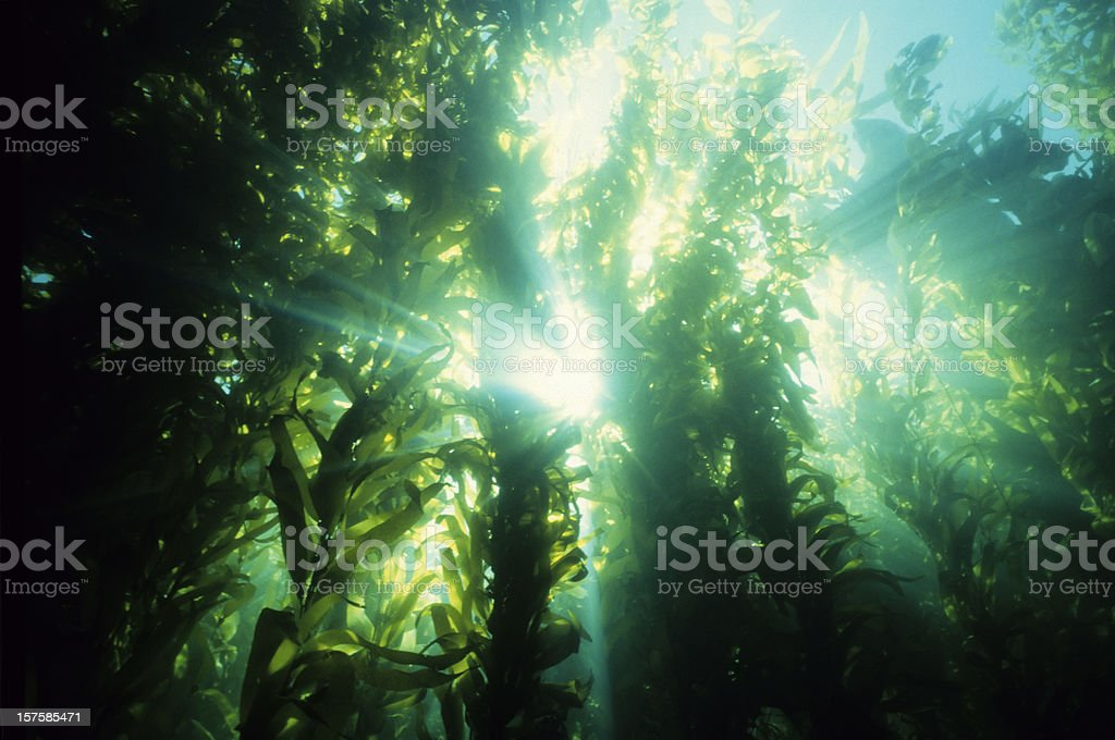 Underwater forest of green kelp stock photo