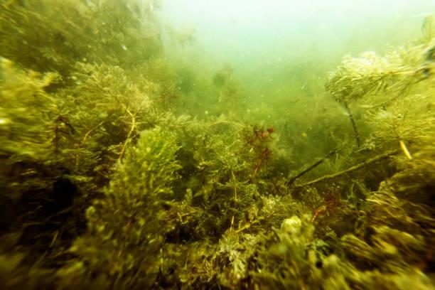 Underwater Freshwater Flora Rivers, Lakes, Pond,  Underwater Flora stock photo