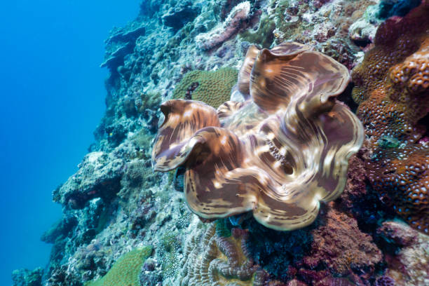 Underwater Giant Clam (Tridacna gigas) on shallow coral reef stock photo