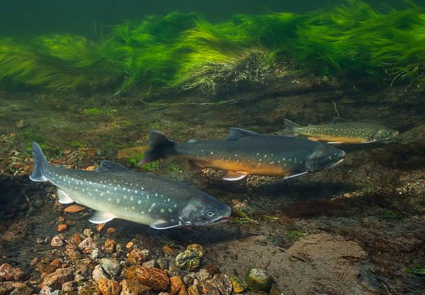 Unterwasser image of arctic char, Grönland – Foto