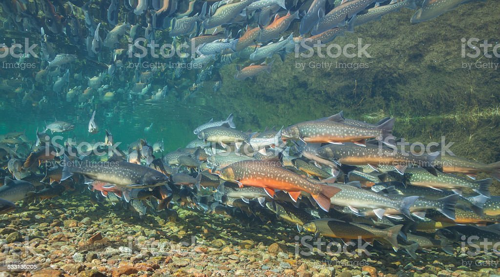 Underwater image of arctic char, Greenland stock photo
