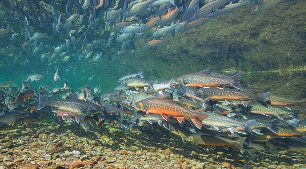 Underwater image of arctic char, Greenland Underwater image of arctic char (Salvelinus alpinus) in clear water river, Greenland salmonidae stock pictures, royalty-free photos & images