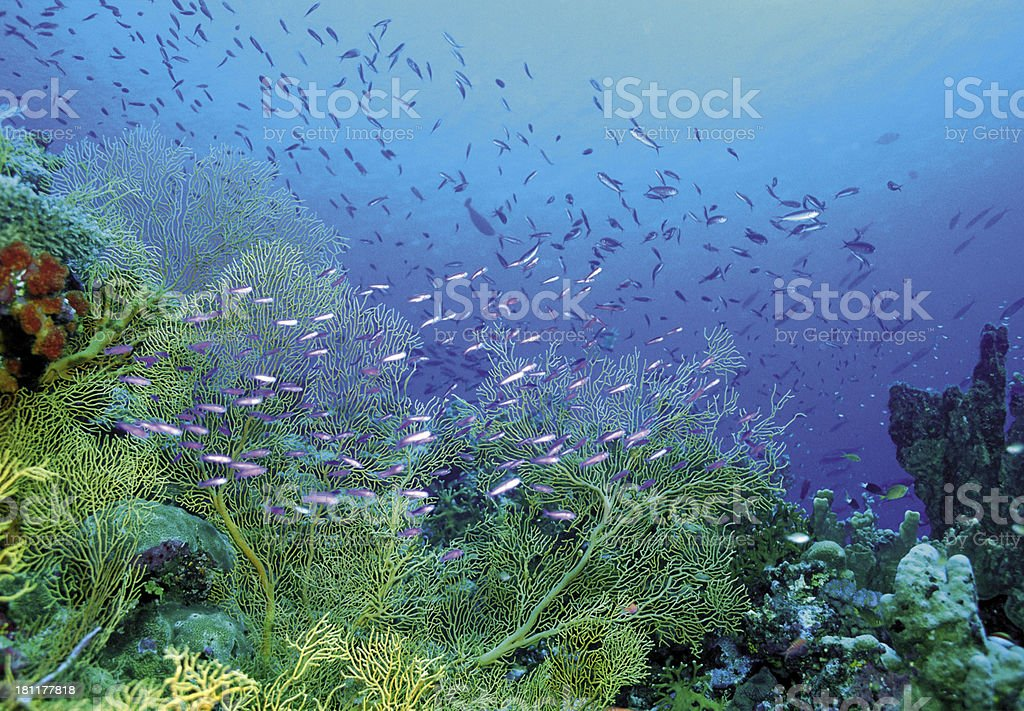 underwater image of coral reef and tropical fishes royalty-free stock photo