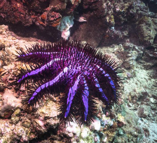 unterwasserbilder von krone von dornen starfish (acanthaster planci) seastar - coral and mauve stock-fotos und bilder