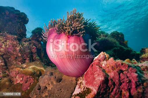 istock Underwater image of Magnificent Sea Anemone (Heteractis magnifica) aka Ritteri Anemone on coral reef 1088661928