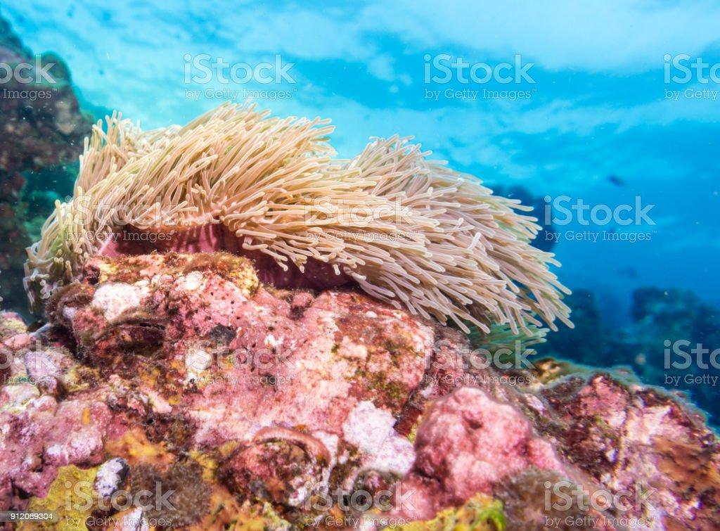 Onderwater beeld van de prachtige zeeanemonen (Heteractis magnifica) aka Ritteri Anemone op koraal rif foto
