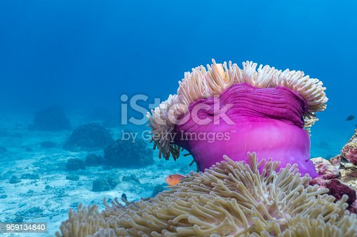 Coral reefs are the one of earths most complex ecosystems, containing over 800 species of corals and one million animal and plant species. Here we see a shallow coral reef consisting of a Magnificent Anemone (Heteractis magnifica). The Anemone has stinging venom coated polyps, which it uses as protection from predators.  Inside are two Skunk Anemone fish living in a symbiotic relationship with the coral.  Image take whilst scuba diving in Ko Haa, Andaman Sea, Krabi, Thailand.