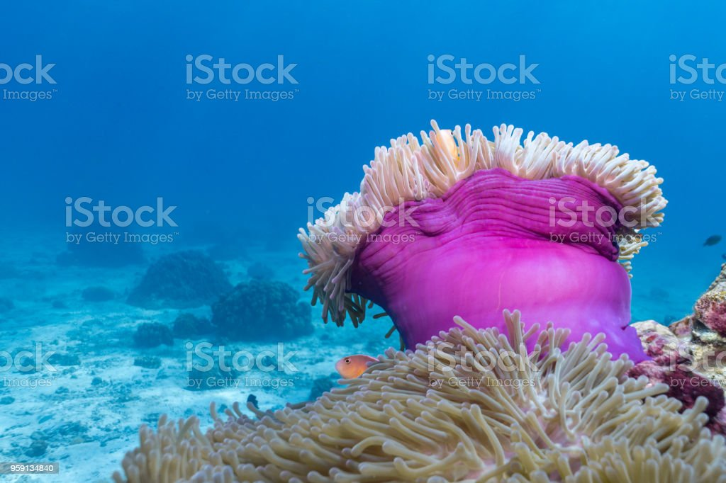 Underwater image of Magnificent Sea Anemone (Heteractis magnifica) aka Ritteri Anemone on coral reef stock photo