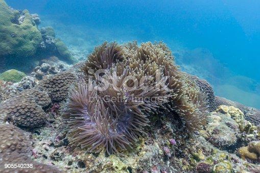 istock Underwater image of Magnificent Sea Anemone (Heteractis magnifica) on coral reef 905540238