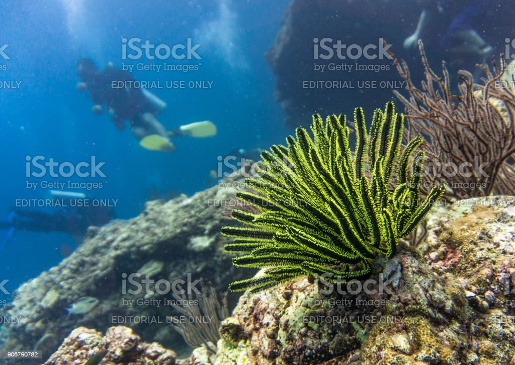 Underwater image of scuba divers on coral reef with Feathered Sea Star (Crinoid) stock photo