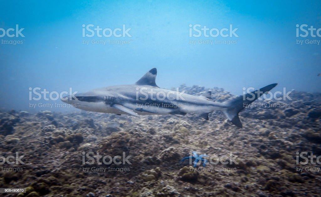 Underwater image of 'threatened species' Black Tip Reef Shark (Carcharhinus melanopterus) swimming close up stock photo