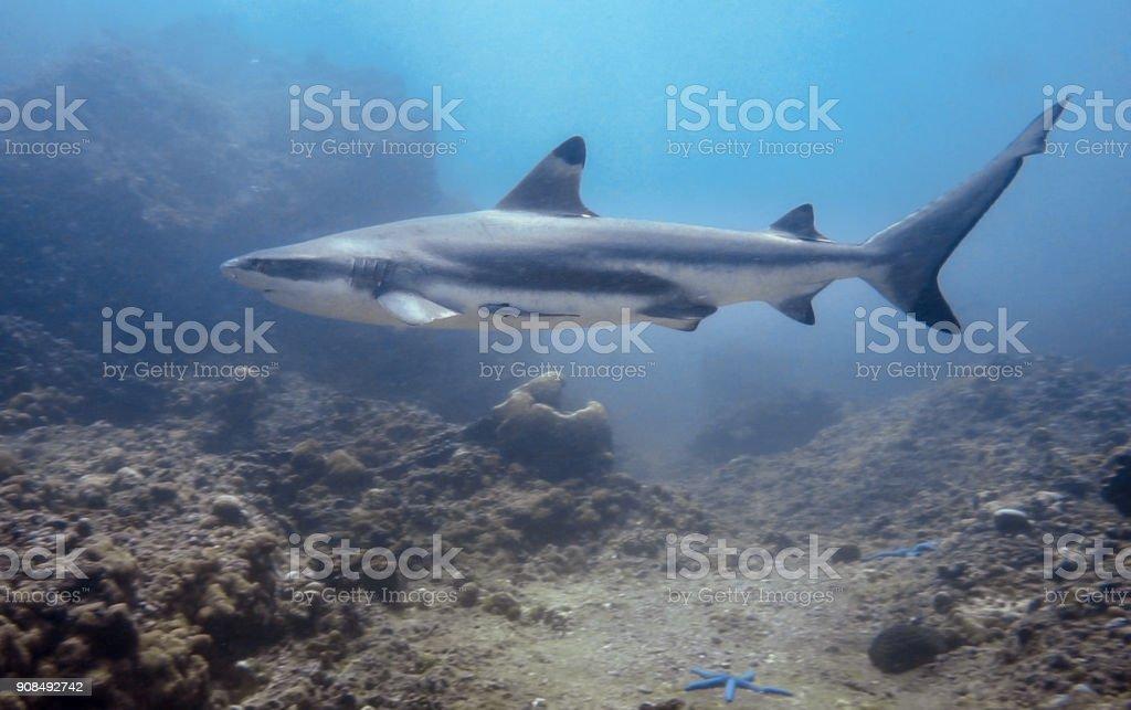 Underwater image of 'threatened species' Black Tip Reef Shark (Carcharhinus melanopterus) swimming close-up stock photo