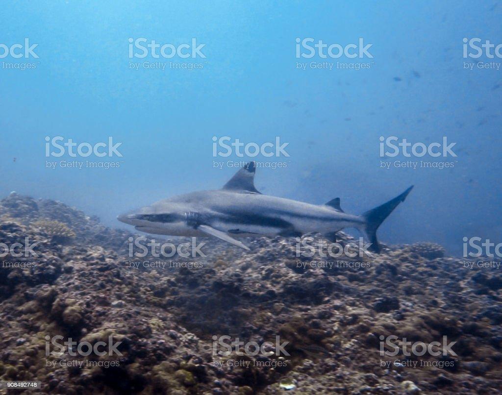 Underwater image of 'threatened species' Blacktip Reef Shark (Carcharhinus melanopterus) swimming close-up stock photo