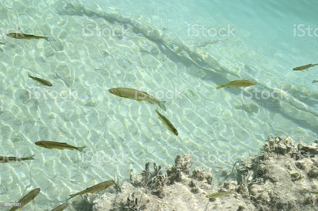 Underwater image of trout fish in the green water royalty-free stock photo