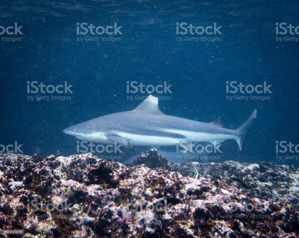 Underwater image of wild Black Tip Reef Shark (Carcharhinus melanopterus) swimming close up stock photo