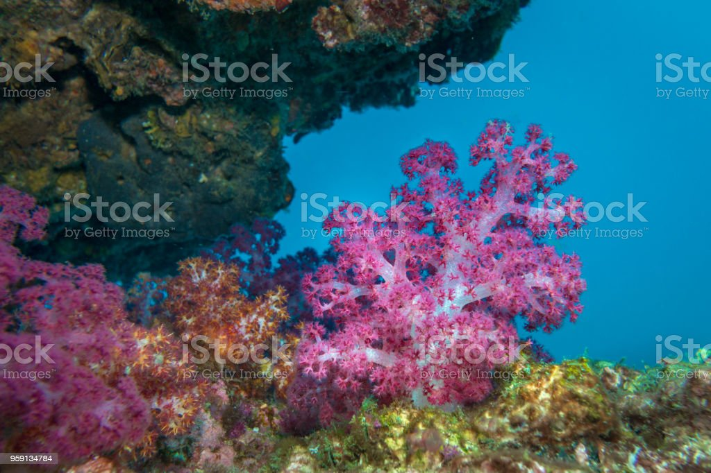Underwater Indian Ocean Alcyonarian coral (Dendronephthya hemprichi) stock photo