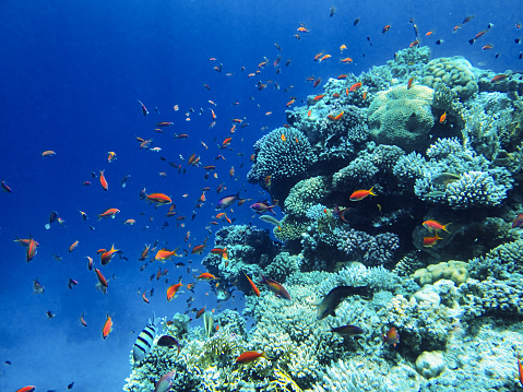 Underwater landscape Red sea, various fish and anemones, blue water, natural light