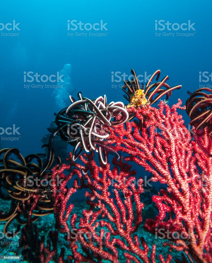 Underwater landscape with red fan coral stock photo