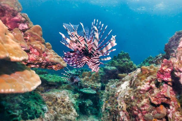 Underwater Lionfish aka Zebrafish (Pterois volitans) on coral reef stock photo