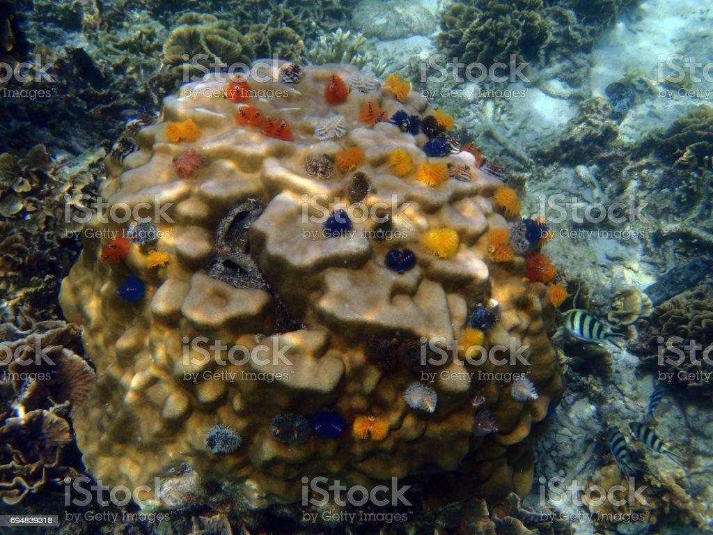Underwater Marine Life Christmas Tree Worms Stock Photo More