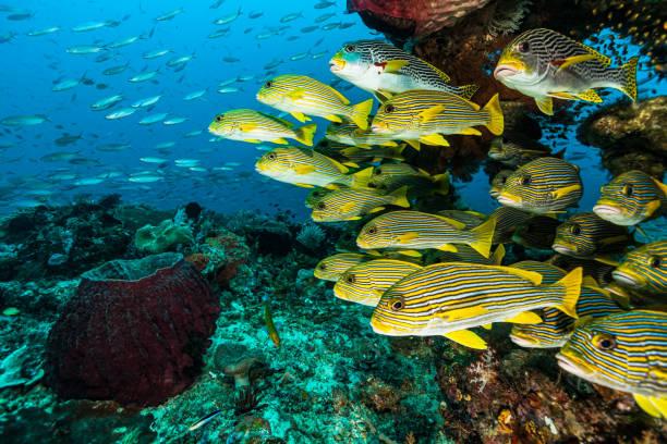 Underwater Paradise, School of Sweetlip Fishes, Raja Ampat, Indonesia stock photo