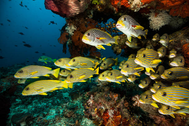 Underwater Paradise, School of Sweetlips, Raja Ampat, Indonesia stock photo
