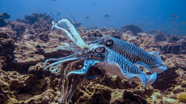 Underwater Pharoah Cuttlefish (Sepia officinalis) Cephalopods mating stock photo