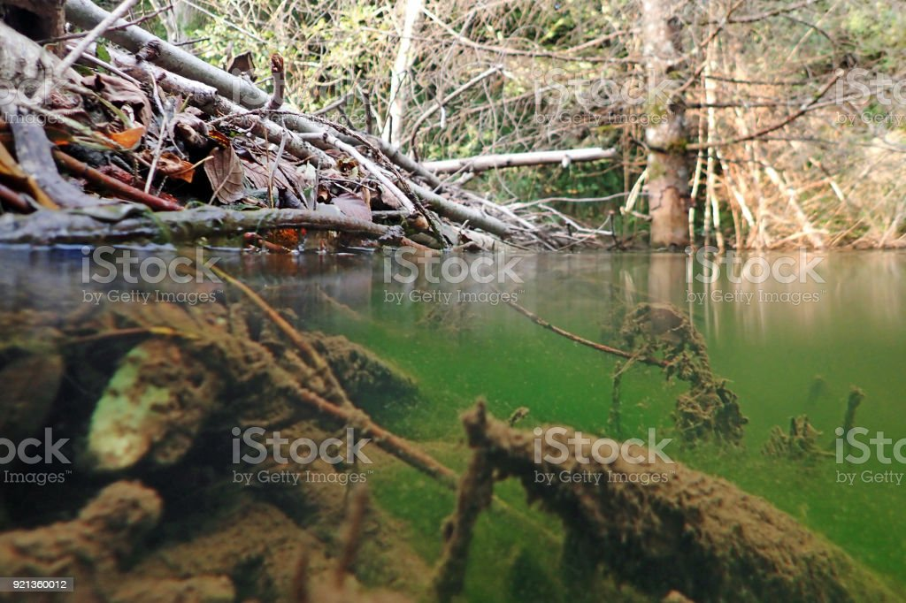 Underwater photo of a beaver building stock photo