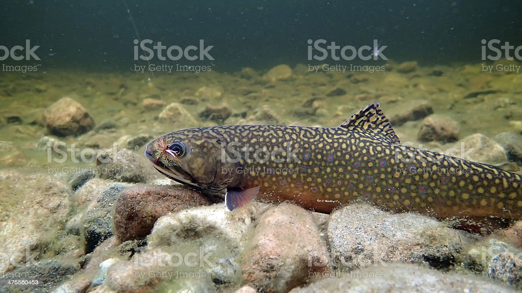 Underwater photo of Brook Trout - Cape Breton, NS stock photo