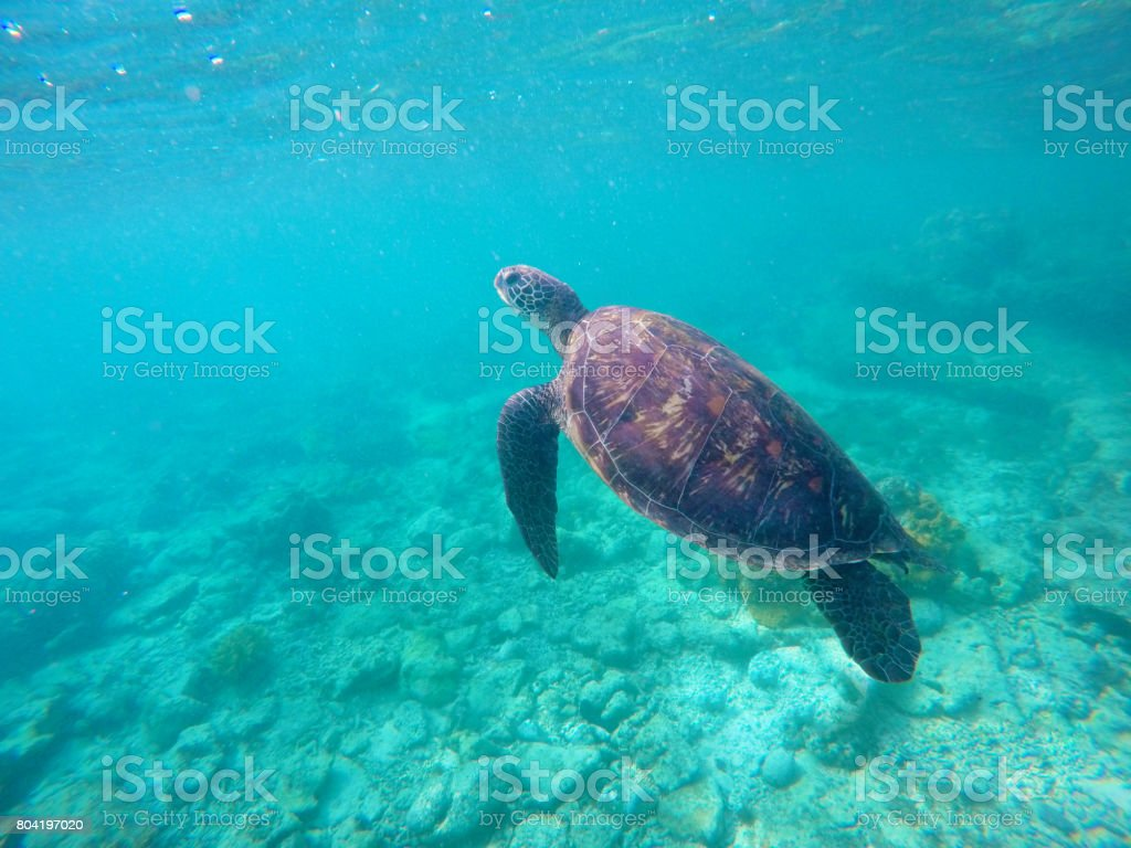 Underwater Photo Of Green Sea Turtle For Banner Template Stock Photo