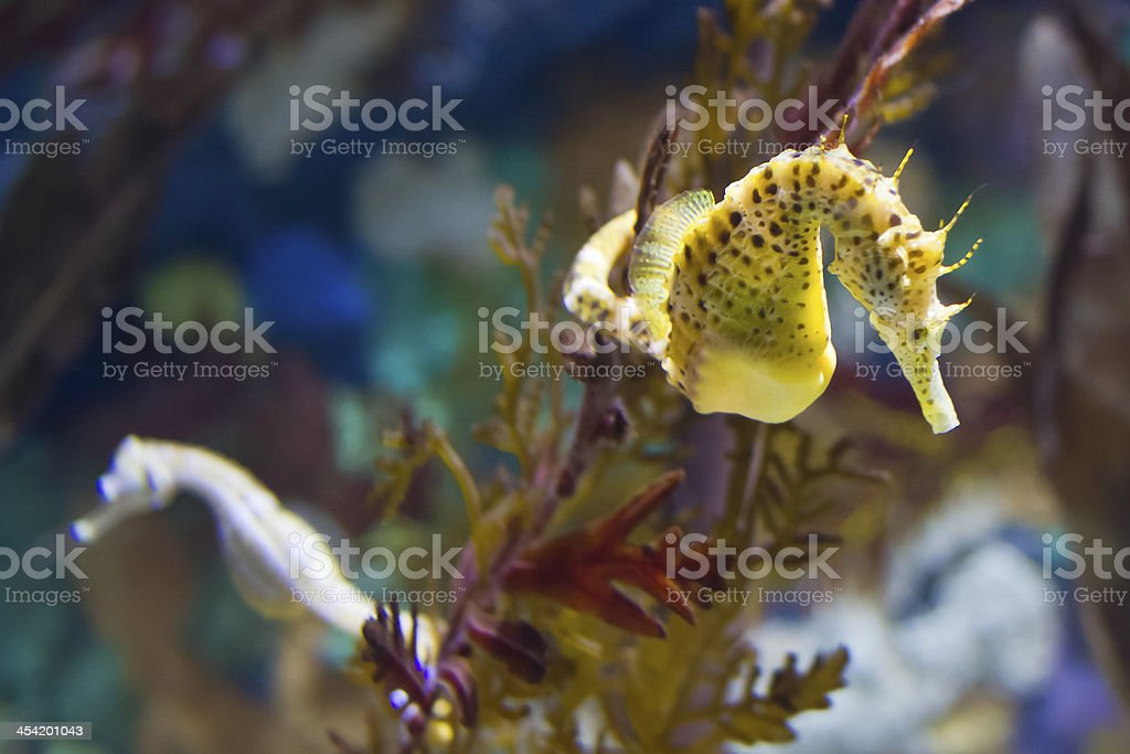 Underwater photo of sea horses amongst seaweed stock photo