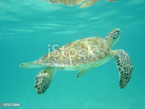 a green sea turtle returning to the surface for air.